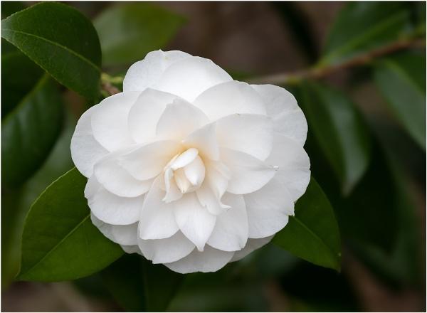 Camellia by capto