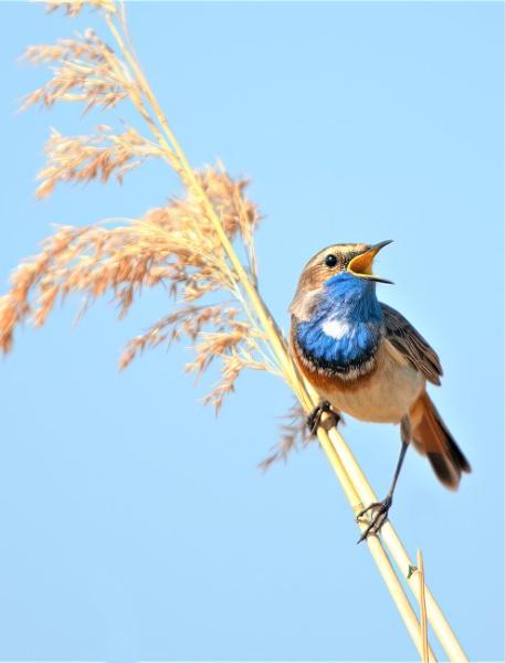 Bluethroat singing under a blue sky by movingmountain