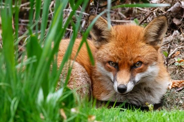 Garden Fox by Trevhas
