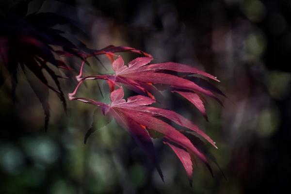 Autumn burgundy by ColleenA