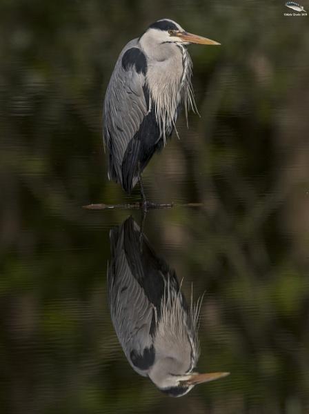 Grey Heron by mufftrix
