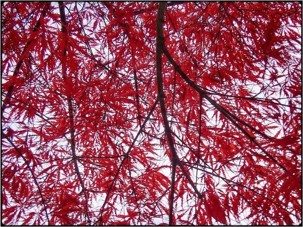 red tree-still by FabioKeiner