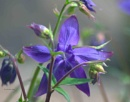 Aquilegia by pentaxpatty at 10/05/2019 - 7:00 PM