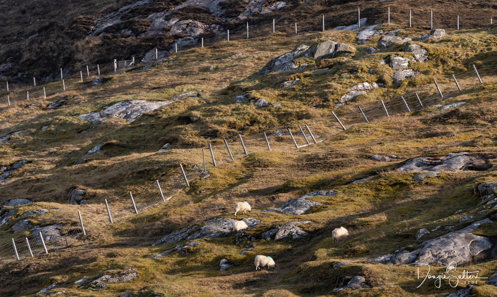 Fences and Sheep...