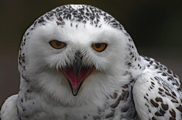 Snowy Owl by Stuarty