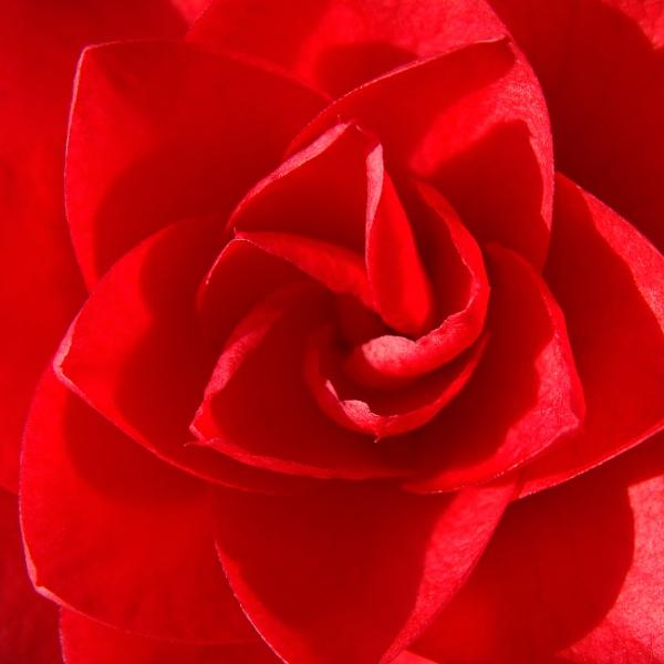 Camellia by Stuarty