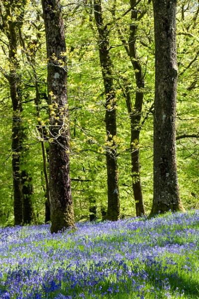 Exmoor bluebells by number9