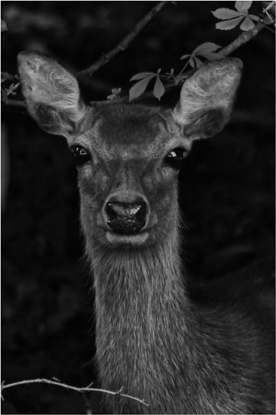 Deer by Trish53