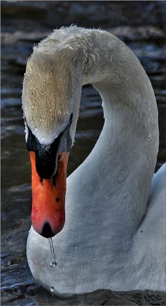 Swan by Trish53