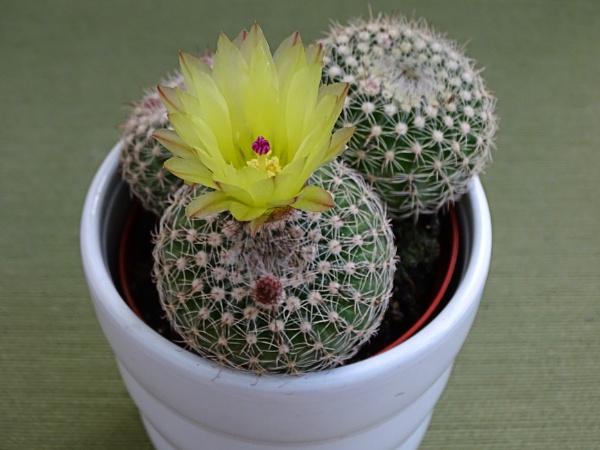 Cactus flower by Cephus