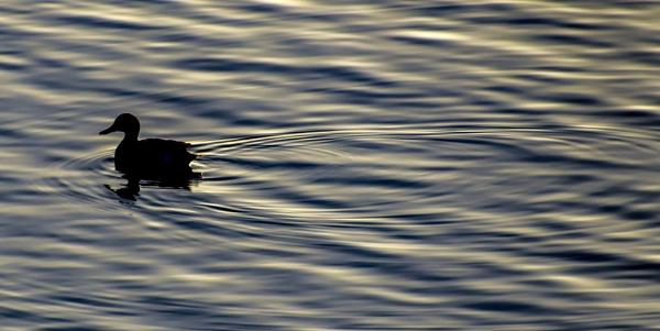 Morning Swim by grizztazz1