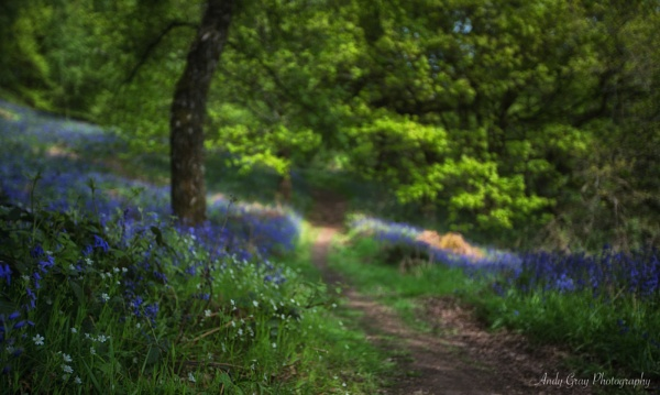 Bluebell Walk by Legend147