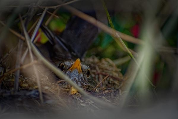 Female Blackbird on her clutch. by simmo73
