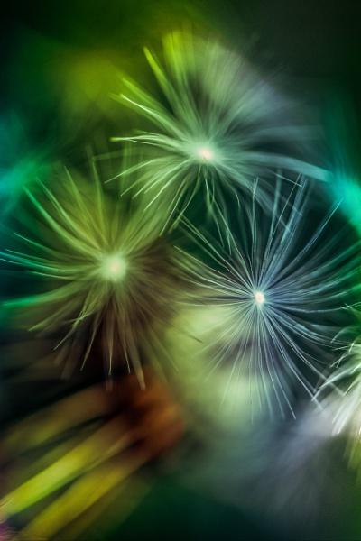 ...dandelion by KristinaZvinakeviciute