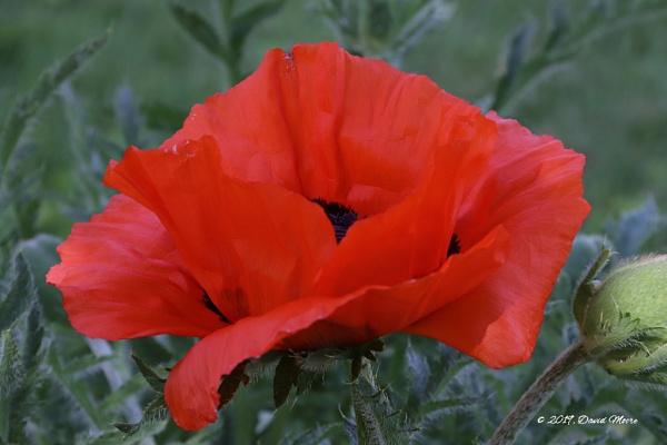 Common Poppy  A.K.A. Cornfeld Poppy by youcantoo