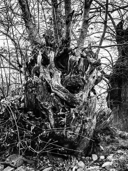 gnarly old tree by andart