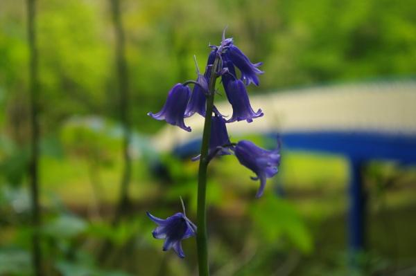 Bluebell by AliEscobar