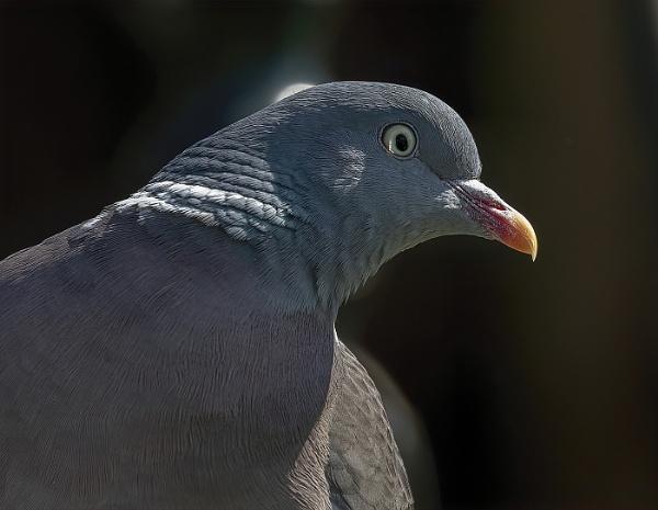 Wood Pigeon portrait by royd63uk