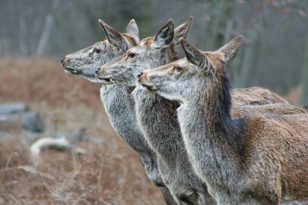 Deer oh Deer oh Deer by sandwedge