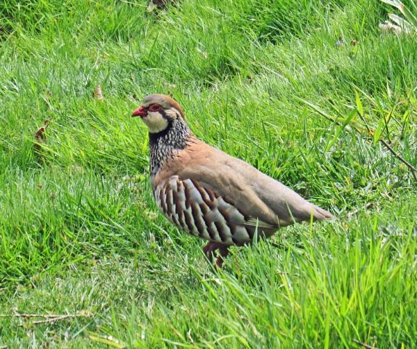 Red-legged Partridge by oldgreyheron