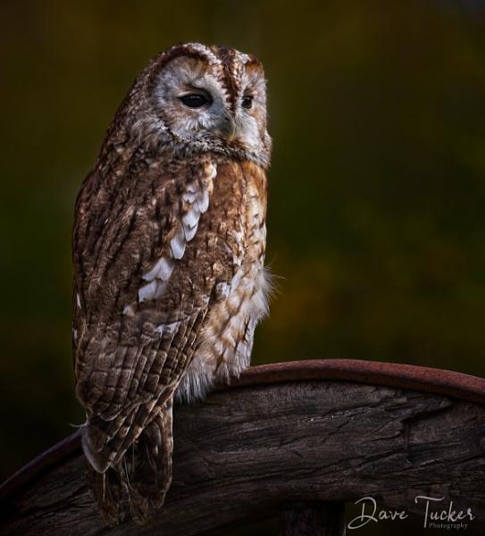 Tawney owl by Draig37
