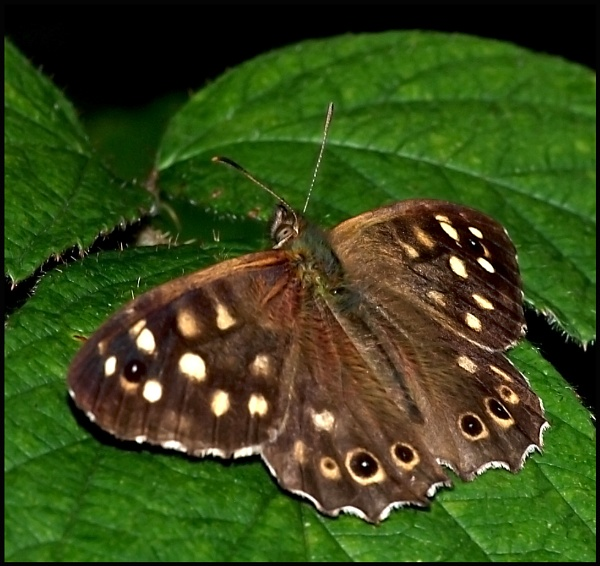 Speckled Wood ... by Badgerfred