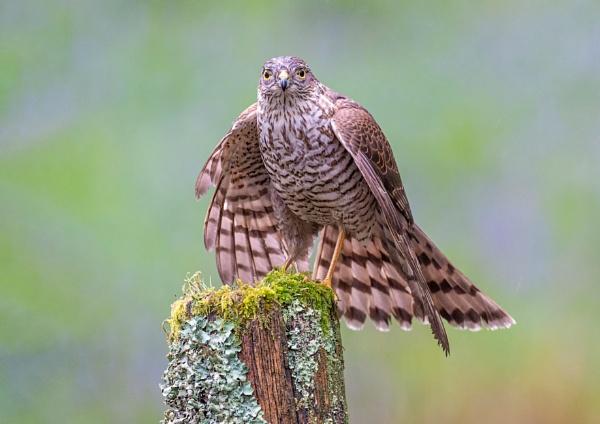 Juvenile Sparrowhawk by Grangeflyer