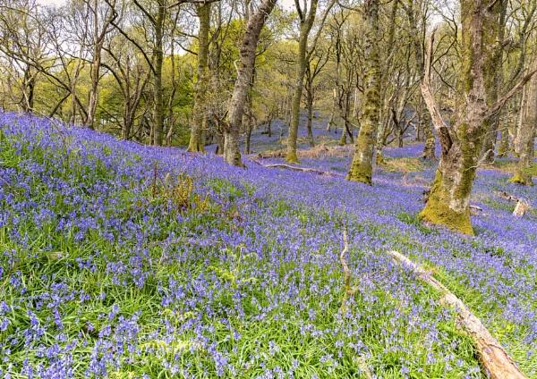 Carstramon Woods by Grangeflyer