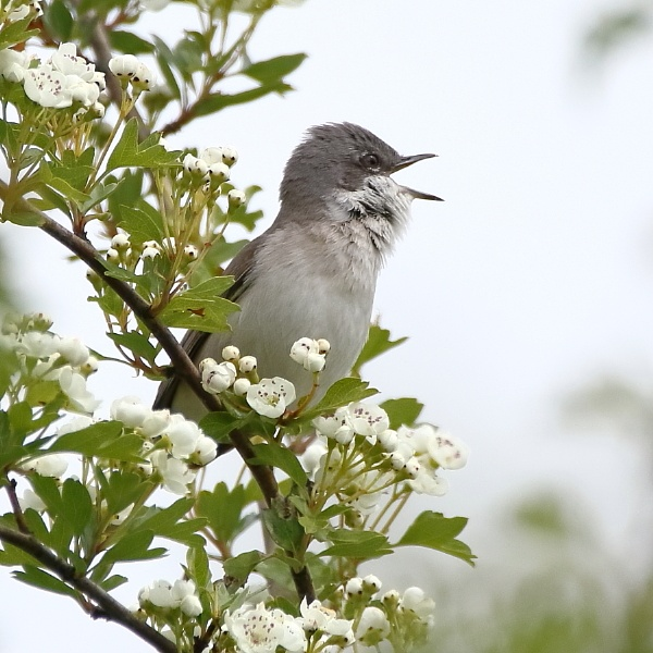 Lesser whitethroat by colin beeley