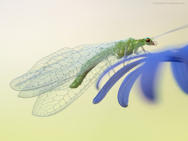 Lacewing by SWMahy