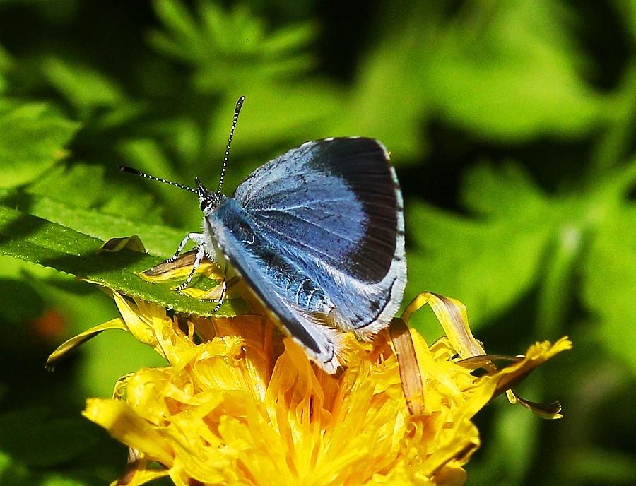 Holly blue on dandelion