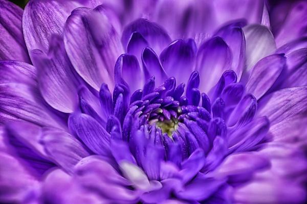 Purple Macro by markst33