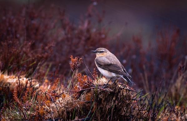 Female Wheatear by jasonrwl