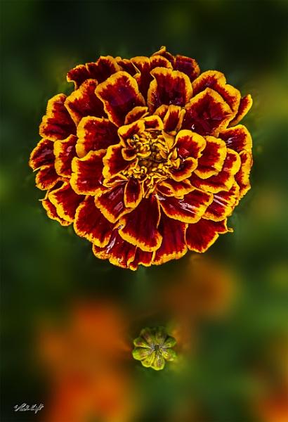 Marigold (0007) by paulknight