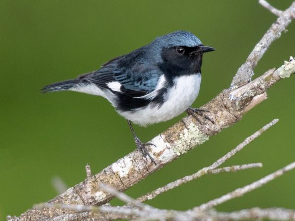 Male black-throated blue warbler. by JeffGresko