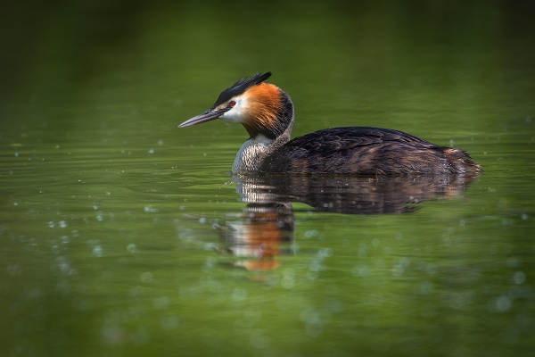 Grebe on Green by BydoR9