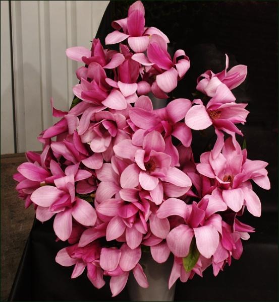 Magnolias by JuBarney