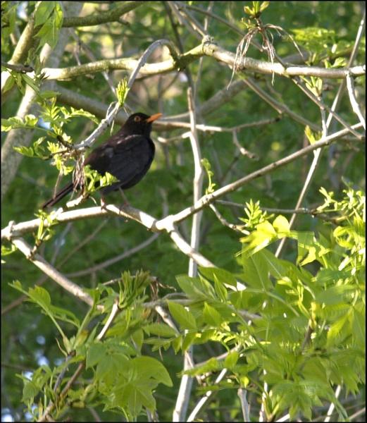 Blackbird ... by JuBarney