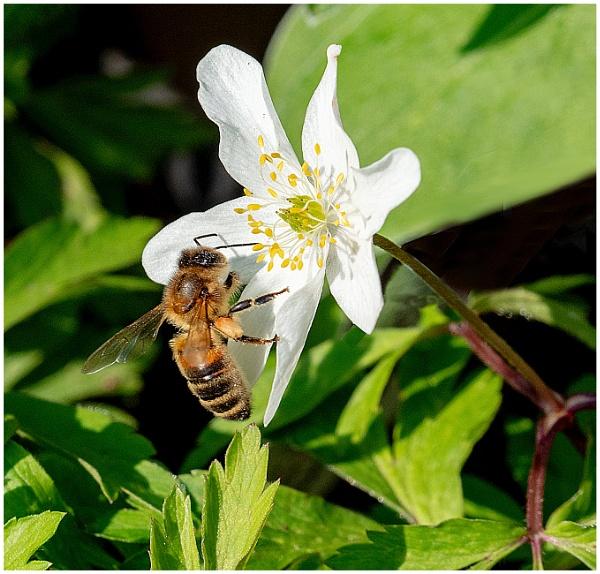 Bee Gathering Pollen by mac