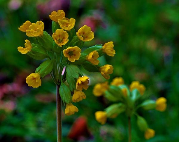 Wildflowers- Cowslips by georgiepoolie