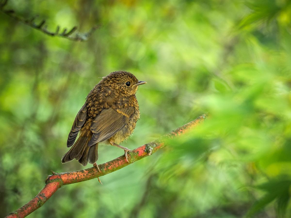 Fledgling Blackbird in an Acer