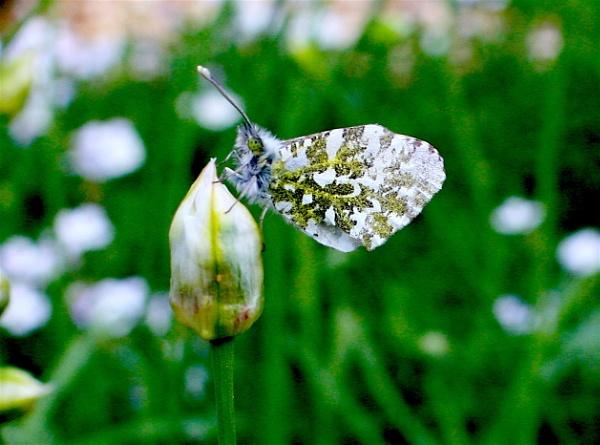 Bath White (now identified as a female Orange Tip!) by ddolfelin