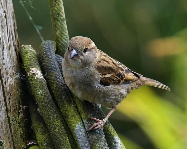House Sparrow by nealie
