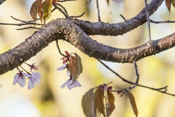 Cherry Blossom by manicam