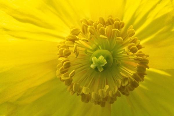 Welsh Poppy by kaybee
