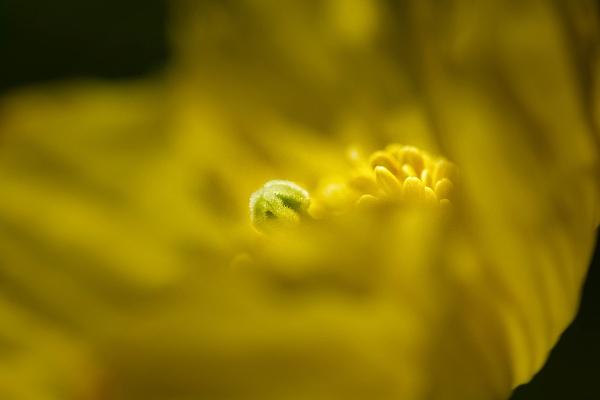 Welsh Poppy II by kaybee