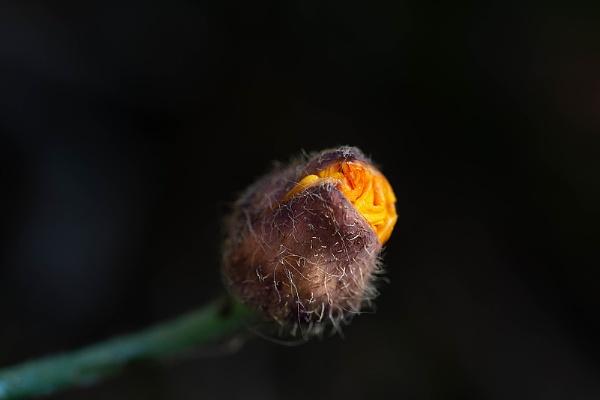Welsh Poppy III by kaybee
