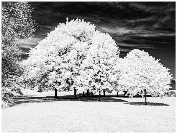 IR Trees 2 by Nikonuser1
