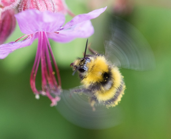 Fly Bumble Airways by Danny1970