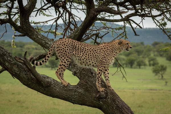 Once a Cheetah, Always a Cheetah by NickDale